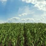3d Corn Field