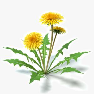 3d Dandelion Flowers